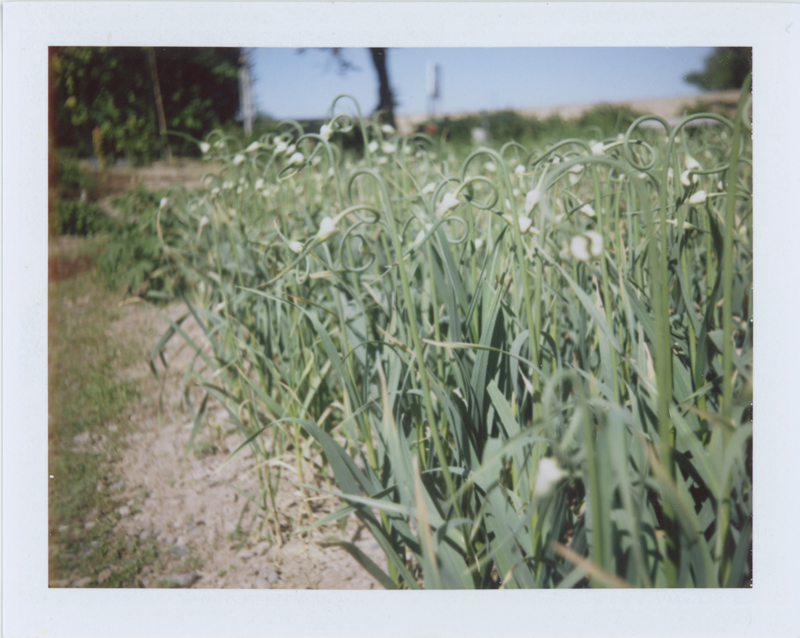 At my hostel in Boise, a mini field of garlic scapes captivated me.
