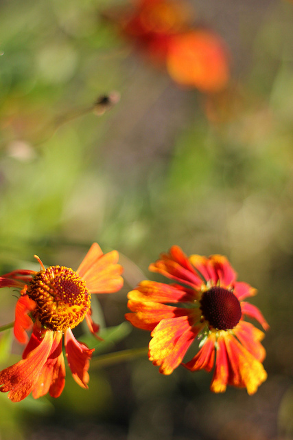 autumnbokeh-flowers