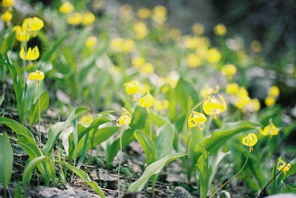 alpine-flowers
